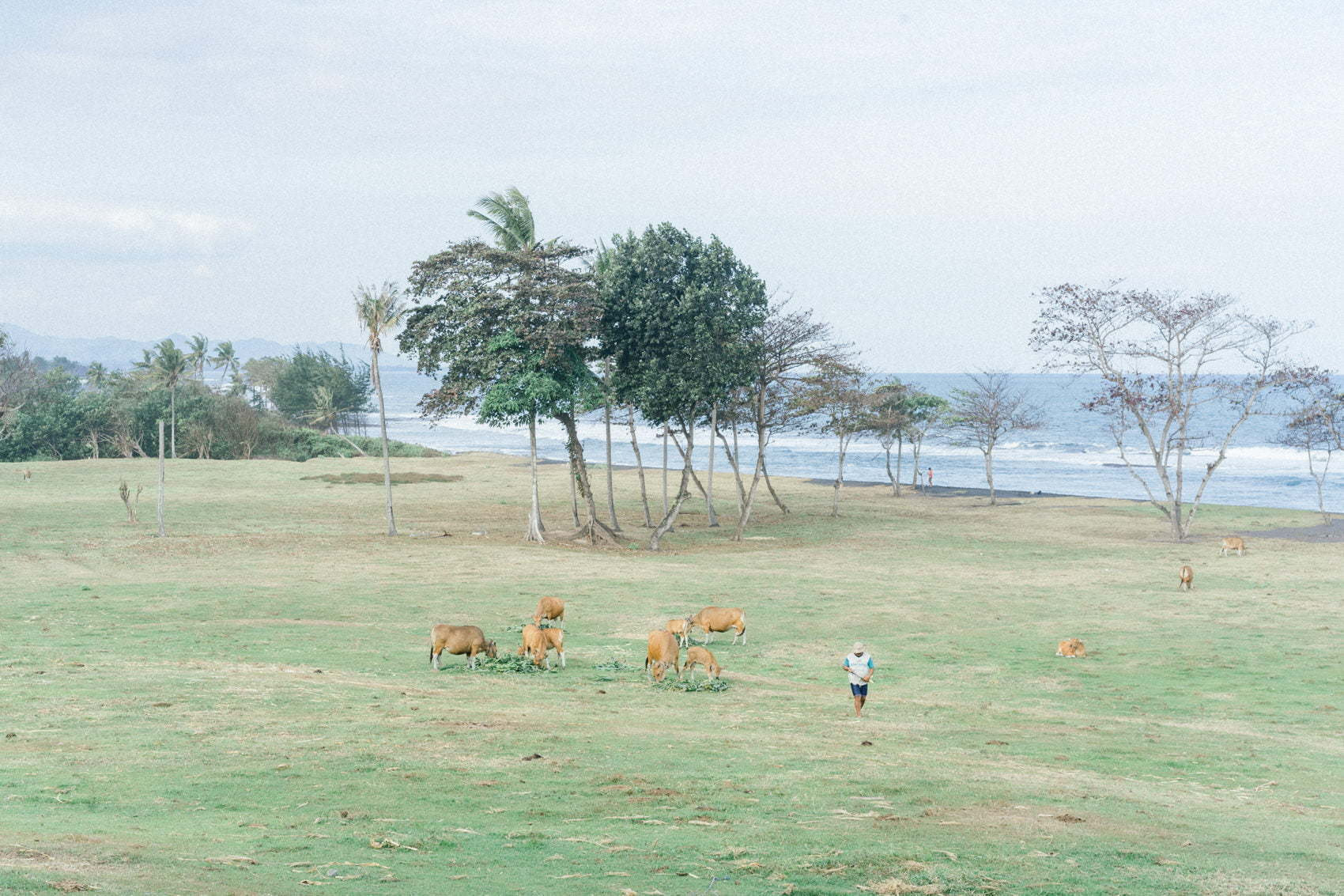 A farmers walking in between his cows in Saba Beach